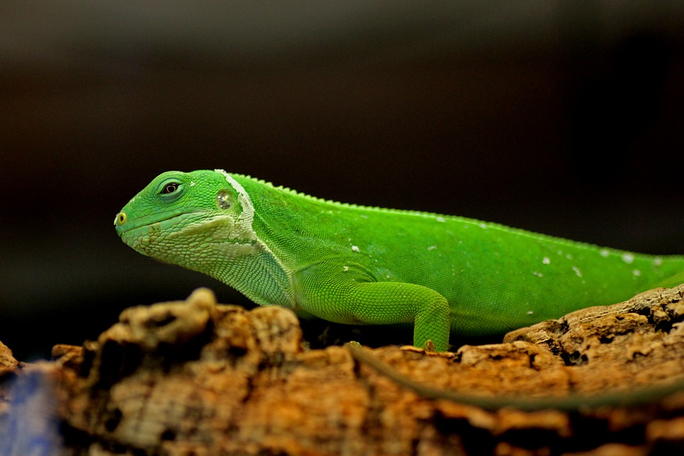Black And Green Wallpaper Free Photo Iguana Green Reptile Lizard Free Image On