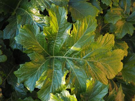 Acanthus Mollis, Feuille, Vert, Grande, Énorme