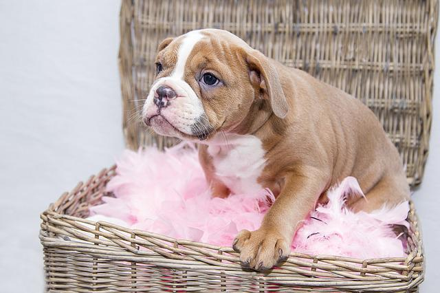 Cute Creative Wallpapers Free Photo Puppy Bulldog Dog Sweet Pet Free Image
