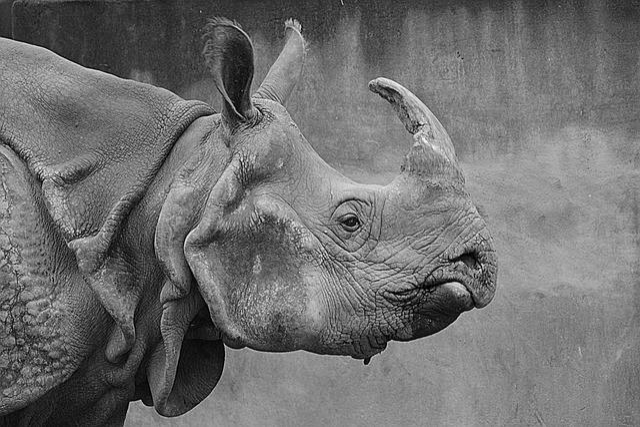 Tiger Animal Wallpaper Rhino Animal Mammal 183 Free Photo On Pixabay
