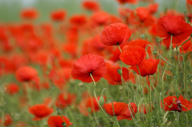 Abstract Animal Wallpaper Free Photo Poppy Field Of Poppies France Free Image