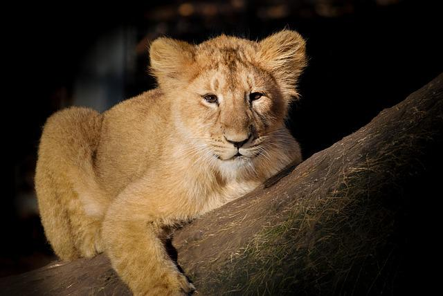 Medical Wallpaper Hd Free Photo Lion Baby Young Cute Animal Free Image