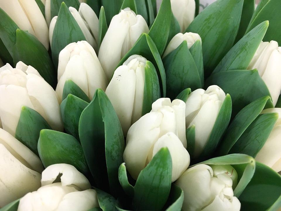 Blue Wallpaper Hd Download Free Photo Tulip White Tulips Keukenhof Free Image