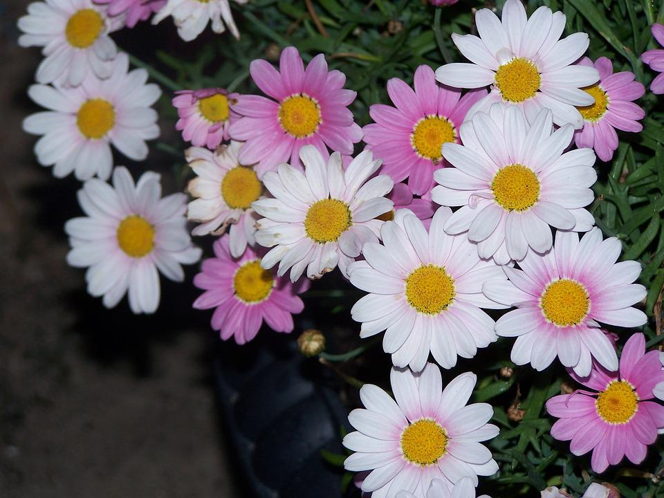 Cute Background Wallpaper Hd Free Photo Pink Daisy Flower Bed Flowers Free Image