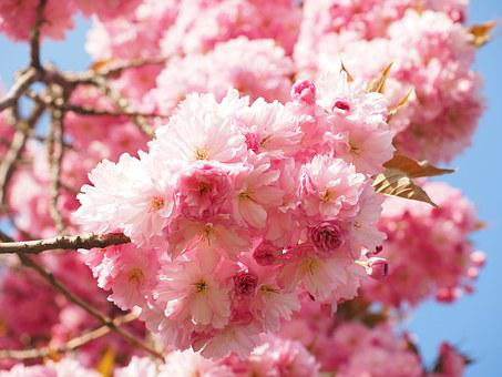Japanese Cherry Blossom Images · Pixabay · Download Free Pictures - cherry blossom animated