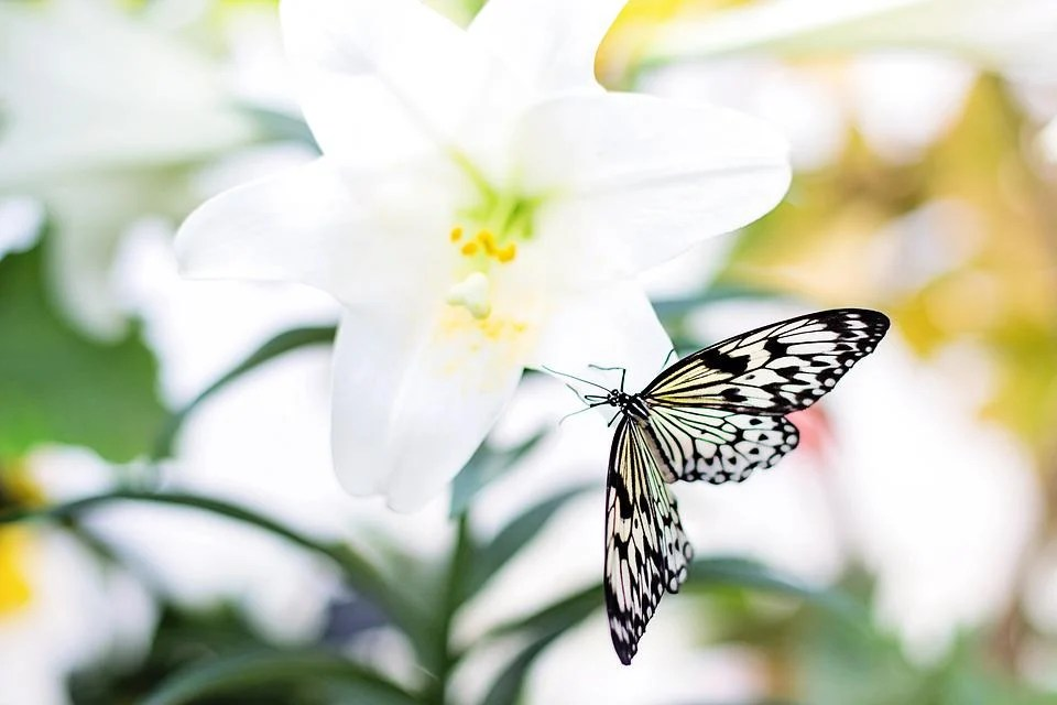 Lady Butterfly Hd Wallpaper Free Photo Butterfly Easter Lily Nature Free Image On