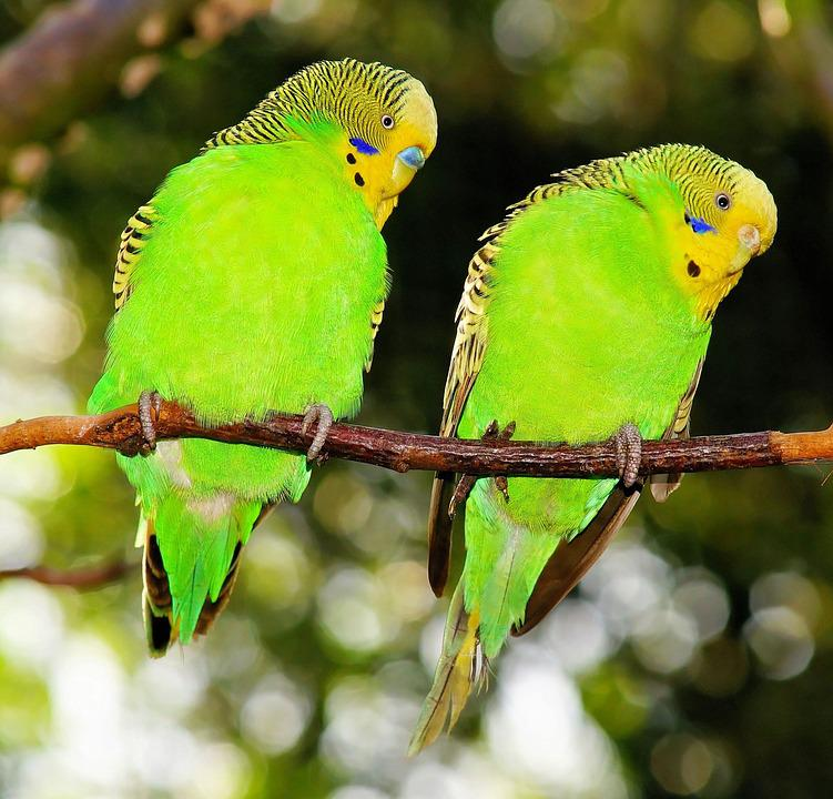 Spring Animal Wallpaper Birds Budgerigars Green 183 Free Photo On Pixabay