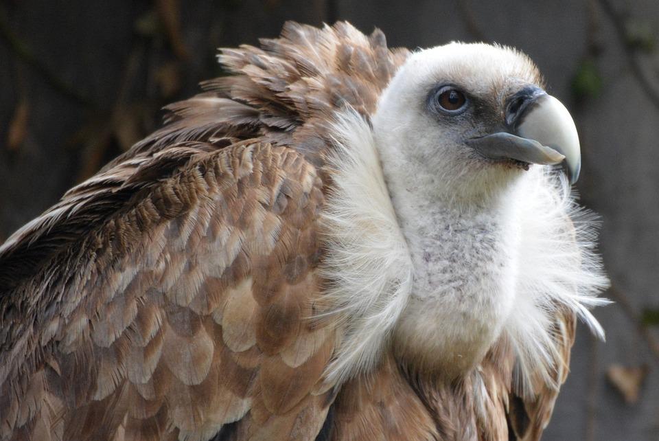 Nature Wallpaper Hd 3d Photo Gratuite Vautour Oiseau Oiseau De Proie Image