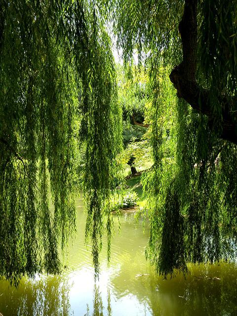 Water Animation Wallpaper Free Photo Willow Tree Lagoon Pond Nature Free