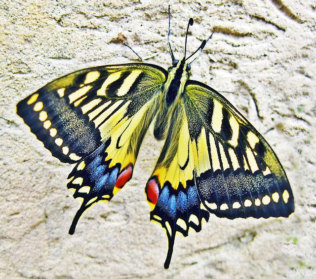 Yellow Cute Wallpaper Free Photo Butterfly Swallow Tailed Butterfly Free