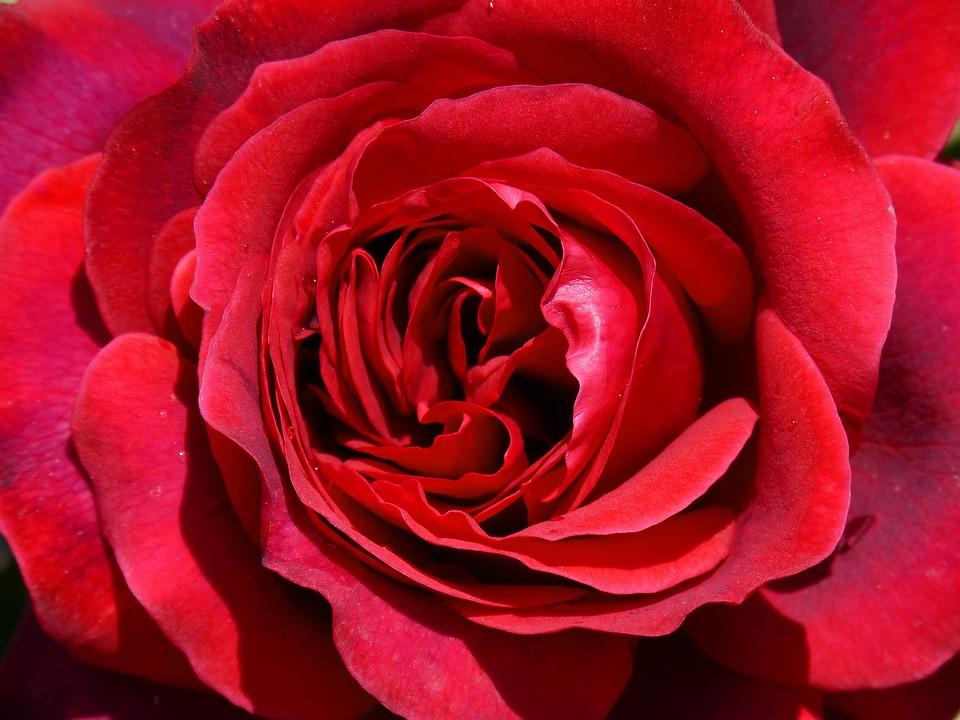 Easter Wallpaper Hd Rosa Red Rose Sant Jordi 183 Free Photo On Pixabay