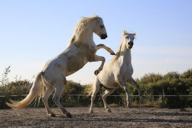 Horse Riding Wallpaper Hd Free Photo Standard Horses Combat Mane Free Image On