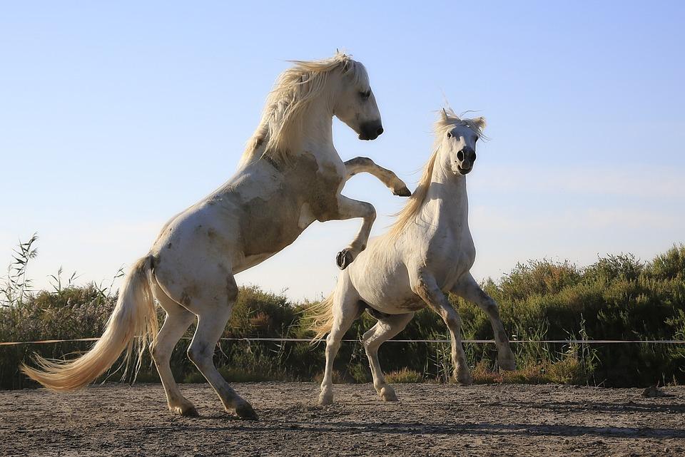 Wallpaper Hd Portrait Orientation Free Photo Standard Horses Combat Mane Free Image On