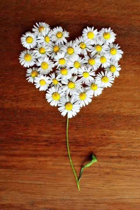 Black Daisy Wallpaper Free Photo Daisy Heart Daisy Heart Love Free Image