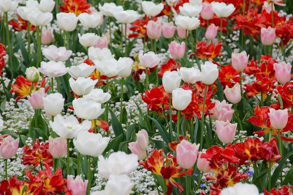 Girls Wallpapers 480x800 Tulip Landscape Tulips Holland 183 Free Photo On Pixabay