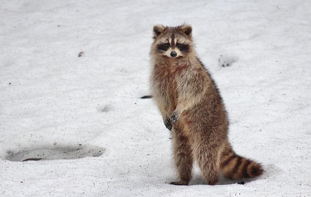Cute Animal Wallpapers Free Racoon Animal Snow 183 Free Photo On Pixabay