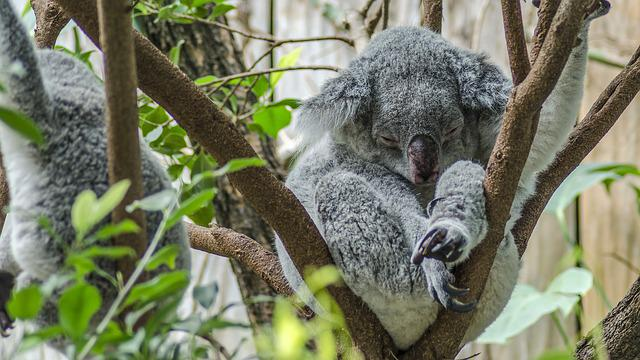 Cute Science Wallpaper Free Photo Koala Zoo Cute Koala Bear Free Image On