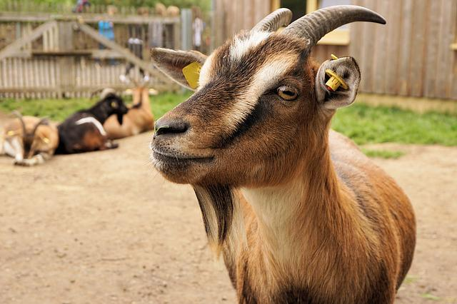 Cute Science Wallpaper Free Photo Goat Dwarf Goat Pet Zoo Animal Free