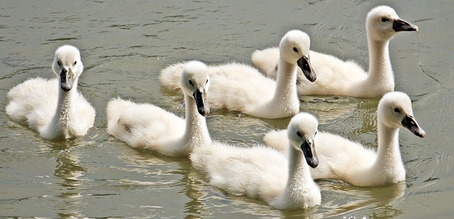 Free Hd Cute Baby Wallpaper Swan Baby Swans 183 Free Photo On Pixabay