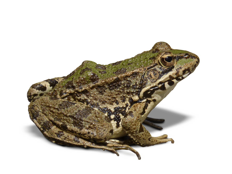 3d Name Live Wallpaper Download Frog Batrachian Transparent 183 Free Photo On Pixabay