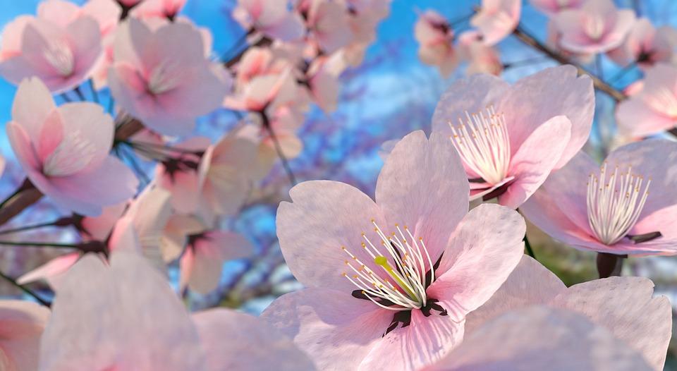 Love Quotes Wallpaper Download Free Free Photo Sakura Flower Sakura Free Image On Pixabay