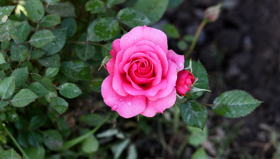 Best Car Wallpaper Download Rose Pink Rain 183 Free Photo On Pixabay