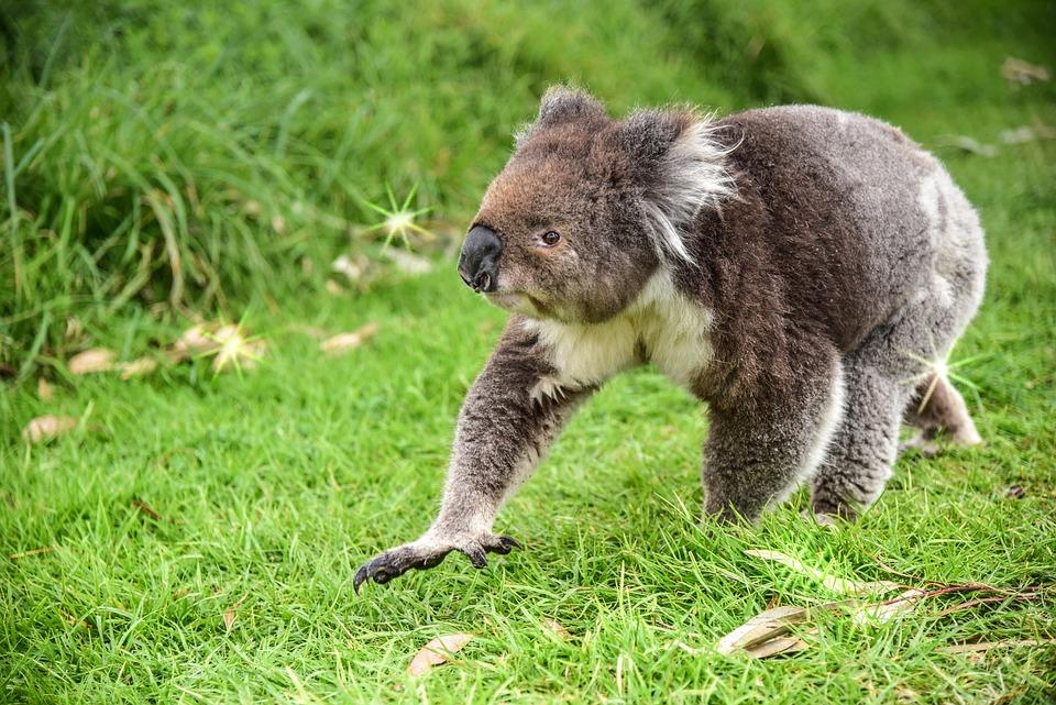 Vertical Wallpaper Hd Free Photo Bear Koala Animal Australia Free Image On