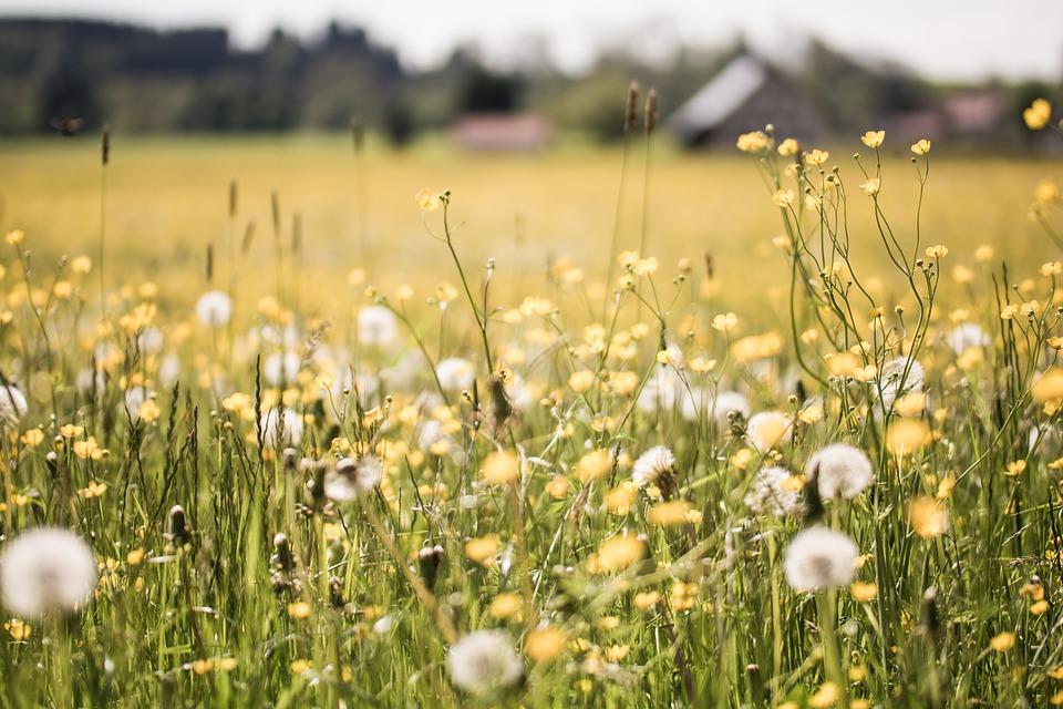 3d Flower Photo Wallpaper Free Photo Dandelion Field Depth Of Field Free Image