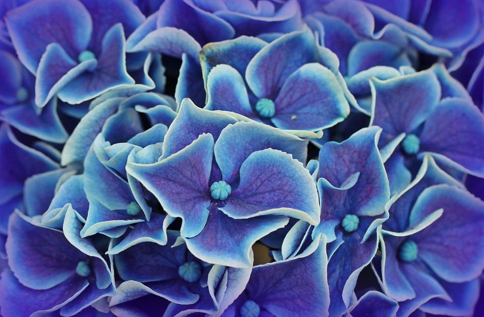 Black And Pink Flower Wallpaper Photo Gratuite Hortensia Fleurs D Hortensia Image
