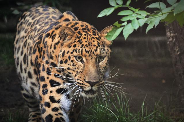 Domestic Animals Wallpaper Free Photo Leopard Beast Animal Mammal Zoo Free