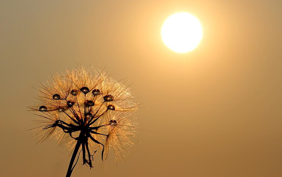 Windows 8 1 Wallpaper Hd Free Download Free Photo Dandelion Sun Dew Water Plants Free