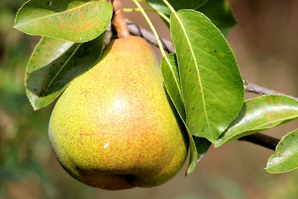 Animals Hd Wallpapers 1080p Free Photo Pear Leaves Fruit Delicious Free Image On