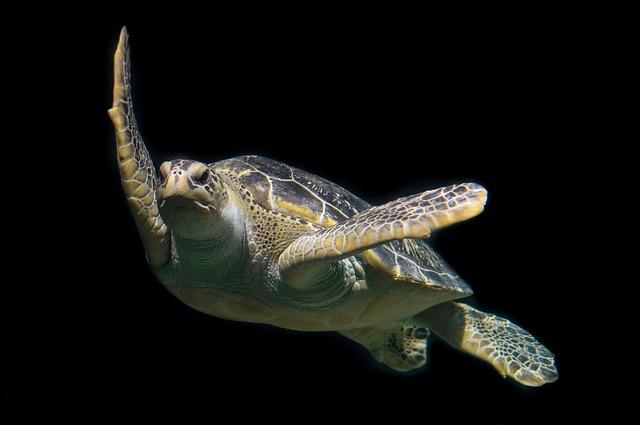 Tiger Animal Wallpaper Free Photo Turtle Green Sea Ocean Animal Free Image