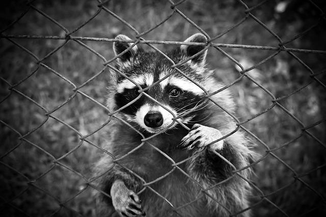 Black And White And Red Wallpaper Raccoon Animal World 183 Free Photo On Pixabay