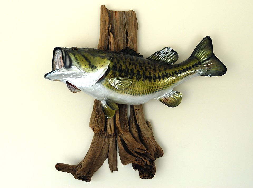 Beautiful Animal Wallpapers Large Mouth Bass Mounted 183 Free Photo On Pixabay