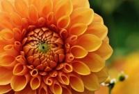 Dahlia Dahlias Autumn  Free photo on Pixabay
