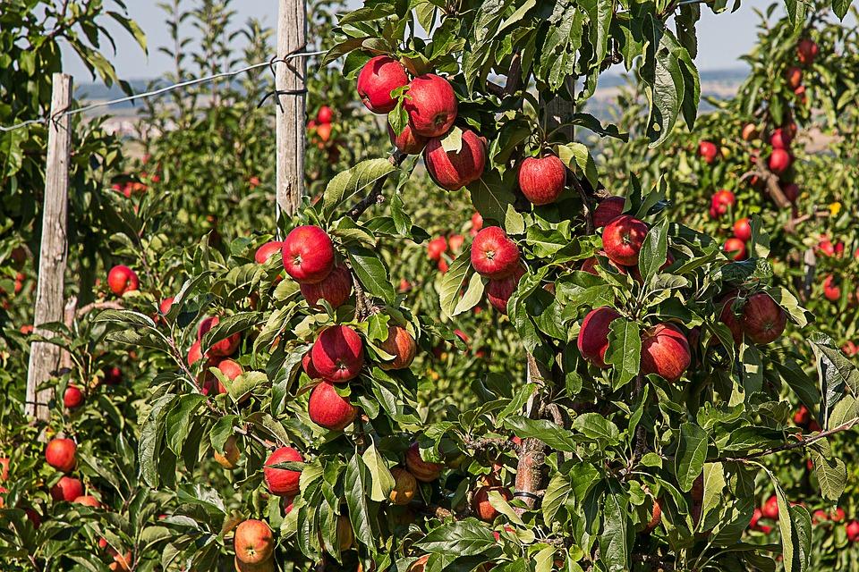 Upstate New York Fall Hd Wallpaper Free Photo Apple Apple Tree Fruit Free Image On