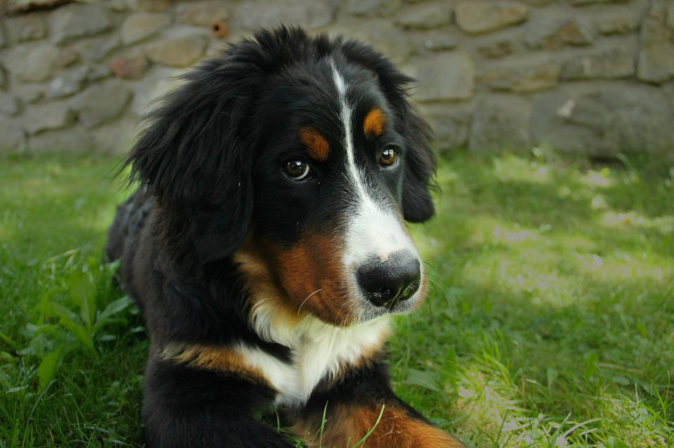 Berner Hund Bernese Mountain Dog Large · Free Photo On Pixabay