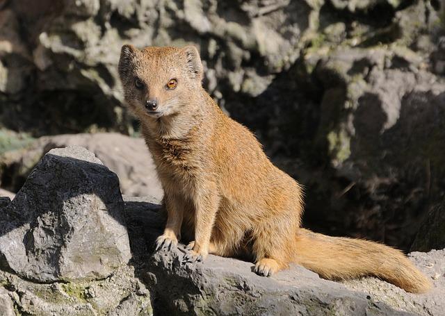 Lion Animal Wallpaper Yellow Mongoose Animal 183 Free Photo On Pixabay