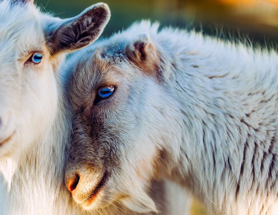 Cute Love Image Wallpaper Free Photo Goats Animals Together Love Free Image On