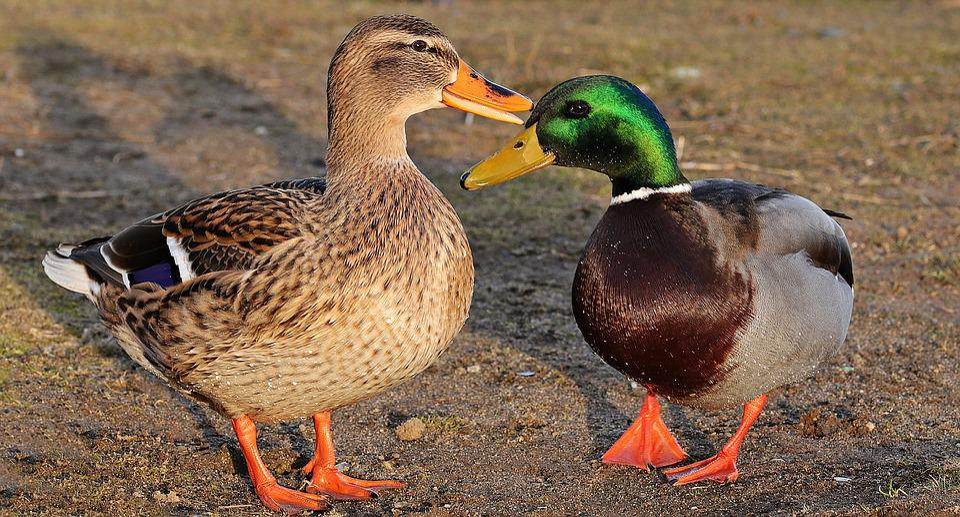 Cute Ducks In Water Wallpaper Free Photo Drake Duck Duck Bird Winter Free Image On