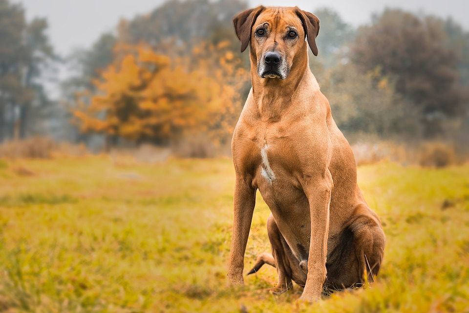 Animals Wallpaper Free Download Nature Dog Rhodesian Ridgeback Animal 183 Free Photo On Pixabay