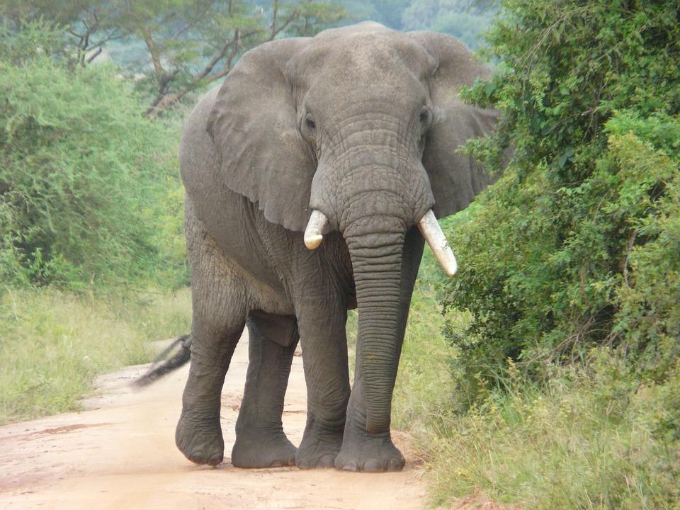 Black Leopard Hd Wallpaper Elephant Africa Conservation 183 Free Photo On Pixabay