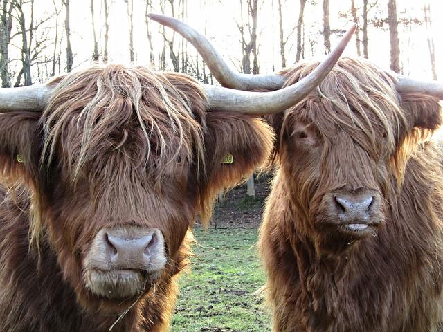 Cute Blue Wallpaper Backgrounds Free Photo Highland Cow Coo Scotland Hairy Free