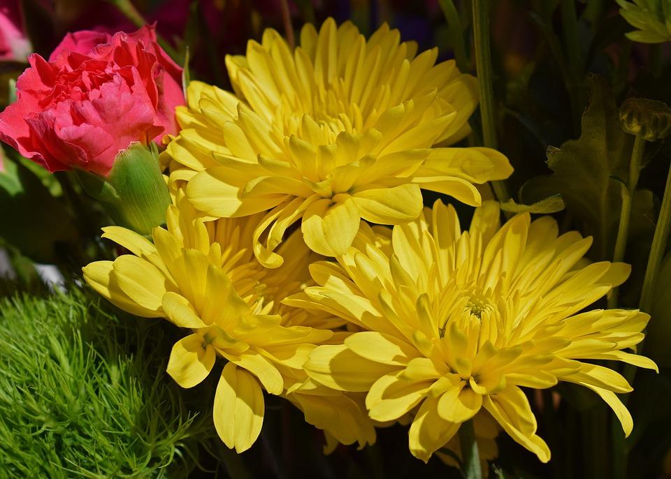 Pink Animal Wallpaper Yellow Chrysanthemums Carnation 183 Free Photo On Pixabay