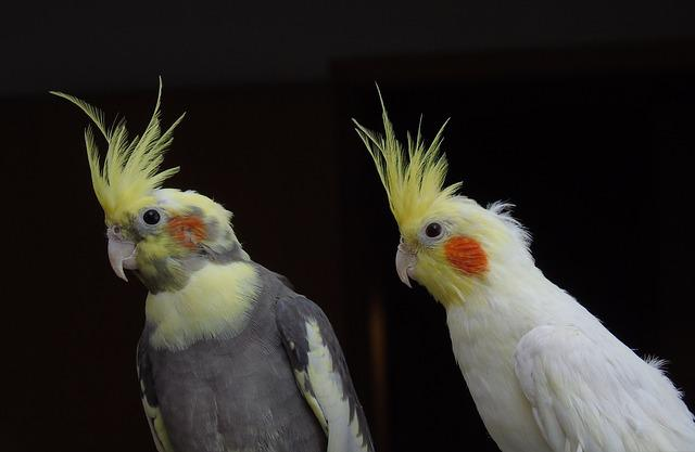 Animal Photo Wallpaper Free Photo Cockatiel Parrot Cockatoo Bird Free Image