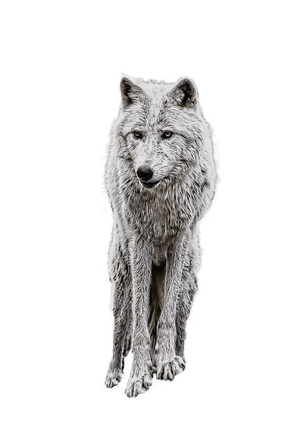 Black Aesthetic Wallpaper Wolf Photo Manipulation White 183 Free Image On Pixabay