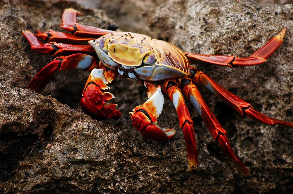 Animal Love Wallpaper Crab Galapagos Ecuador 183 Free Photo On Pixabay
