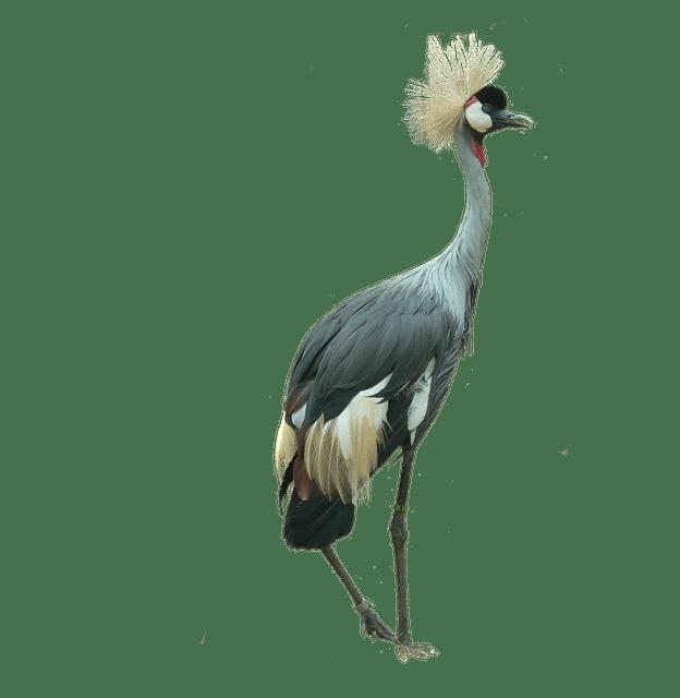 Car Wallpaper 3d Download Crowned Crane Bird Cutout 183 Free Photo On Pixabay