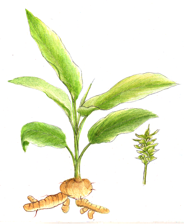 Hd Lavender Wallpaper Turmeric Plant Herb 183 Free Image On Pixabay